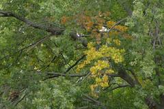 Let The Colors Begin - Cloudy Day (Modkuse) Tags: autumn autumnleaves colors nature natural art artphotography natureart photoart fineartphotography fineart 80mm 80mmmacro xf80mmf28rlmoiswrmacro xf80mmf28rlmoiswrmacrolens fujinonxf80mmf28rlmoiswrmacro fujifilm fujifilmxt2 fujinon xt2 nopostprocessing sooc straightoutofcamera trees treescape