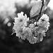 Blossom, Clare
