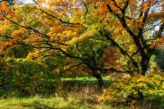 Autumn Acer (JRPics.) Tags: shadow october england plants woods gloucestershire fall colour woodland trees acer outside spectical walks landscape outdoors parks autumn nature uk shade westonbirt westonbirtarboretum