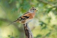 Welcome back! (DorianHunt) Tags: birds bokeh brambling october 2019 switzerland nikond500 sigma 150600mm