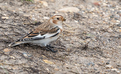 Snow Bunting (dr brewbottle) Tags: bunting snowbunting bird migrant male sussex sea coast