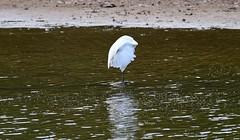 Egret_3154ce (Porch Dog) Tags: 2019 garywhittington nikond750 nikkor200500mm egret bird feathers nature wildlife lake kentucky avian