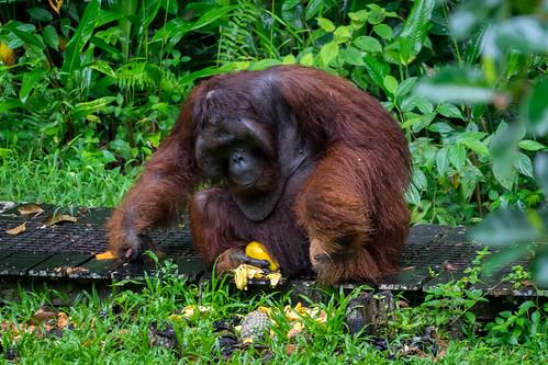 Was für ein Highlight - plötzlich kam Ritchie direkt neben uns aus dem Dschungel auf die Straße. Die Mitarbeiter rannten herbei und gaben ihm schnell etwas zum Essen. Gesehen im Semenggoh Orang Utan-Rehabilitationszentrum, Borneo