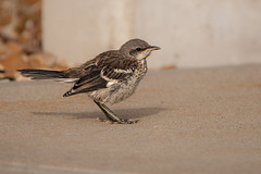 Baby mockingbird (Lynn Tweedie) Tags: mockingbird leessummitmunicipalairport beak 7dmarkii missouri eye tail bird wing sigma150600mmf563dgoshsm feathers canon eos ngc animal
