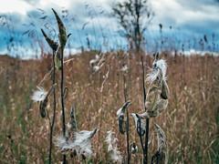 little einsteins (dajonas) Tags: michigan prairie milkweed autumn october clouds grey
