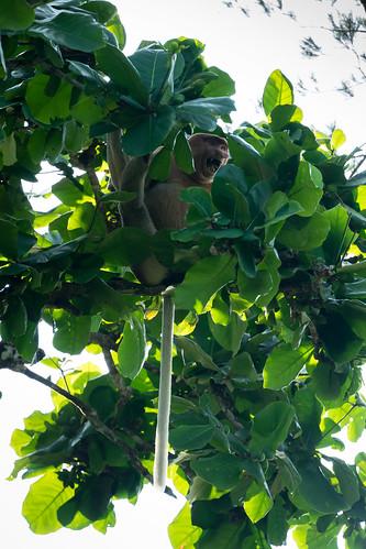 Nasenaffe / Proboscis Monkey (Nasalis larvatus). Gesehen im: Bako National Park, Sarawak, Borneo