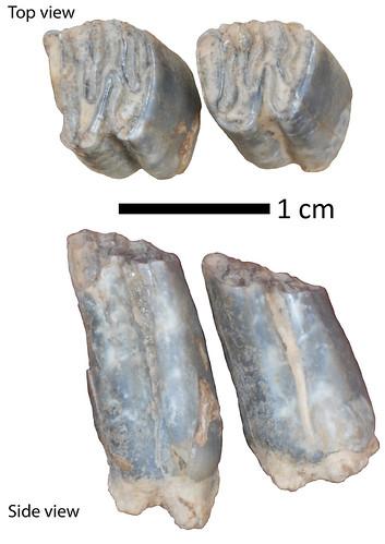 Ancient beaver teeth