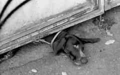 dog (nomorenails) Tags: bw black white delta 400 nikon fe2 tblisi georgia analogue film tbilisi dog animal sad