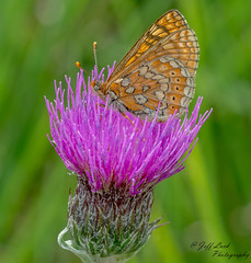 JWL8329 Marsh Fritillary... (Jeff Lack Wildlife&Nature) Tags: marshfritillary fritillary fritilliaries butterflies butterfly lepidoptera insects insect nectaring glades grasslands marshland marshes meadows fields farmland verges wildlife wetlands wildlifephotography jefflackphotography wildflowers nature naturephotography nikon macro