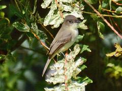 Eastern Phoebe in my back yard (ctberney) Tags: easternphoebe sayornisphoebe flycatcher bird latevisitor backyard nature ontario canada