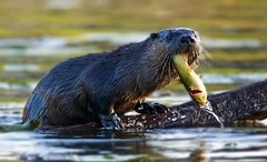 Breakfast (Scott M. Mohn) Tags: mammal northamericanriverotter nature wildlife fish reflections carnivore paws water minnesota pond outdoors morning weaselfamily omnivorous lontracanadensis whiskers