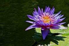 Reflecting Pool Purple Lily (iseedre) Tags: lily purplepetals reflectingpool balboapark sandiego