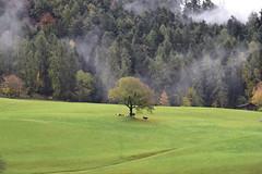 Rund um Tiers - Rinderweide; Südtirol, Italien (664) (Chironius) Tags: kastelruth alpen dolomiten südtirol italien altoadige dolomiti baum bäume tree trees arbre дерево árbol arbres деревья árboles albero árvore ağaç boom träd herbst herfst autumn autunno efteråret otoño höst jesień осень stvigil nebel fog brouillard niebla landschaft tier rind landwirtschaft