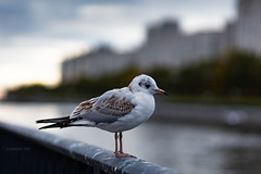 Little Seagull (VladimirTro) Tags: россия санктпетербург птица чайка russia russian saintpetersburg river water bird seagull canonrp ef8518 mirrorless bokeh dof
