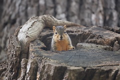 127/366/4144 (October 16, 2019) - Juvenile and Adult Fox Squirrels in Ann Arbor at the University of Michigan - October 16th, 2019 (cseeman) Tags: gobluesquirrels squirrels foxsquirrels easternfoxsquirrels michiganfoxsquirrels universityofmichiganfoxsquirrels annarbor michigan animal campus universityofmichigan umsquirrels10162019 autumn fall eating peanuts octoberumsquirrel cavity cavitynest squirrelnest nest siblings juvenilesquirrels juvenilefoxsquirrels juveniles mange squirrelmange squirreltreatment peterlafleur 2019project365coreys yeartwelveproject365coreys project365 p365cs102019 356project2019