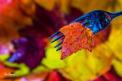 A Taste of Fall (gvbtom) Tags: leaves colorful fall flickrfriday ohio seasonal warmcolors