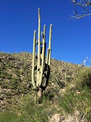 Saguaro (lars hammar) Tags: saguarocactus saguaro cactus tortolitamountains