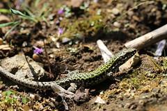 Wall lizard - Abbotsbury. (ChristianMoss) Tags: wall lizard abbotsbury reptile dorset podarcis muralis