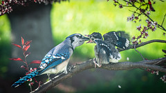 Feeding the young (BeyondThePrism) Tags: bird birds nature feeding blue jay bluejay baby babybird branch natural beyondtheprism beyond beautiful prism wwwbeyondtheprismcom jpcastonguay castonguay castonguayjeanphilippe outside outdoors outdoor exterior eating feed