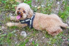 Walk in Jura (jmarnaud) Tags: france 2019 spring family jura walk river countryside village people green chocolat dog
