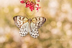 Kite Paper (Studio281Photos) Tags: butterfly butterflyhouse paperkite bokeh flower naturallight superzoom nature beautiful frozen stlouis missouri nikon nikond810 100400mm