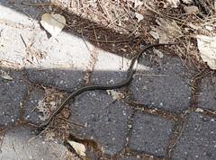Another garter snake (EcoSnake) Tags: westerngartersnake thamnophiselegansvagrans gartersnakes snakes reptiles den autumn idahofishandgame naturecenter