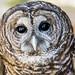 Barred Owl ♂︎