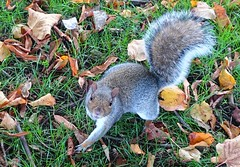 Squirrel (Tony Worrall) Tags: grey animal beast natural nature cute stare squirrel fun leaves park autumn face greedy feed grass ground rodent sciuridae northwest north update place location uk england visit area attraction open stream tour country item greatbritain britain english british gb capture buy stock sell sale outside outdoors caught photo shoot shot picture captured ilobsterit instragram