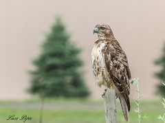 Buse à queue rousse - Red-tailed Hawk (Lucie.Pepin1) Tags: oiseaux birds buse hawk nature wildlife faune fauna luciepepin canon7dmarkii canon300mml