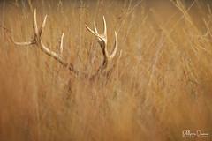 cerf-0149 (Philippe Druesne) Tags: cervuselaphus cerfélaphe reddeer stag rut brame animal mammifére mamal mammifère cervus elaphus cerf élaphe red deer