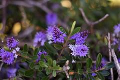 Flowers (joaquin.almonacid) Tags: flowers flores macro