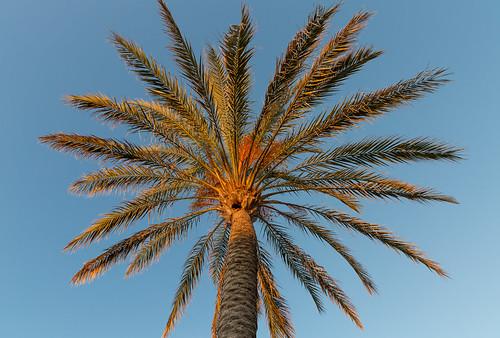 Palm tree near Palma de Mallorca