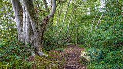 Old Beech (prajpix) Tags: tree trees woods wood woodland forest rock boulder ivy path track invernesshire highlands scotland old ancient huge massive aged trunk bark carving name initials autumn
