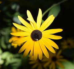 Shades of yellow 1 (MJ Harbey) Tags: flower yellowflower rudbeckiahirta blackeyedsusan eudicot asterales asteraceae yellowdaisy spider france brittany parcbotaniquedecornouaille nikon d3300 nikond3300