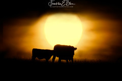 Mother and Calf Nursing at Sunrise (franklin331) Tags: angus animals backlit blackangus bliss blissdinosaurranch blissranch blissphotographics calf cow cowcalfpair farm farmanimals landscape mother nursing orange ranch ranching silhouette sonyalpha suckling sun sunrise teat yellow