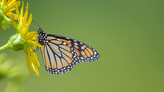 Monarch  4742 (Paul McGoveran) Tags: monarchbutterfly nikon500mmf4 nikond500 nikond850 portdover silverlake coth coth5
