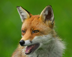 Is this my good side (Paul wrights reserved) Tags: fox foxes portrait portraitphotography animalportrait teeth mouth ears ear bokeh fur nose animal animals mammal mammals
