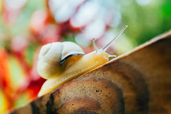 Transparent (Nicola Pezzoli) Tags: italy italia lombardia val seriana bergamo leffe gandino nature natura snail lumaca macro cerida peperoncini peperoncino orto wood