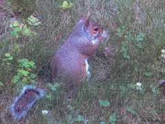 Squirreling away breakfast (Penny Des) Tags: rodent squirrel red foraging nature mammal