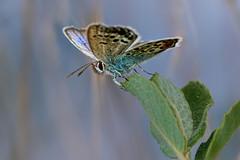 20190815_767c (novofotoo) Tags: argusbläuling blau butterfly falter grün insekten lepidoptera makro natur nature plebejusargus schmetterling silverstuddedblue tiere animals blue green insects macro orange
