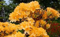 Riot of Colour (Lani Elliott) Tags: homegarden garden nature naturephotography azalea mollisazalea orange glowing colour colourful bright light vibrant flower flowers orangeflowers