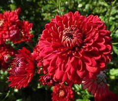 Chrysanthemum Myss Rhianna (Kniphofia) Tags: hallsofheddon chrysanthemum myssrhianna red spray