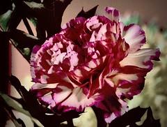 anjer (delnaet) Tags: anjer carnation bloem blume flor flora flores flower fleur fantasticnature
