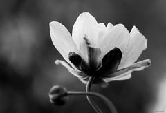 white  Japanese anemone (Christine_S.) Tags: hmbt monochrome blackandwhite japan garden nature macrophotography bokeh canoneosm5 mirrorless ef100mmf28l whiteflowers flower