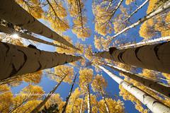 Tree tops (iatassi) Tags: autumn yellowleaves seasons lookingup artistic iatassi iatassiphoto copyrightiatassi copyright canon5dmarkiv arizona naturepeaceandlove natureserenity nature aplacetohike visitarizona southwest snowball artbyfoto flagstaff