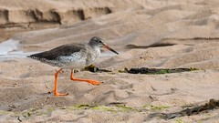 Redshank (I think) (kimbenson45) Tags: animal beach beak bill bird coastal differentialfocus gray grey legs nature orange outdoors sand shallowdepthoffield wader wadingbird white wildlife