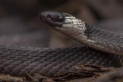 Coffee Snake (antonsrkn) Tags: hudsonscoffeesnake snake reptile herp herpetology nature wildlife animal herping fieldherping riobigal colubrid macro amazonrainforest