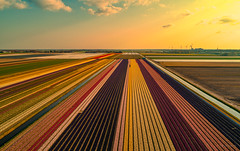 They could not pick a colour. (Alex-de-Haas) Tags: dji dutch europa europe fc6310 holland nederland nederlands netherlands noordholland p4p phantom phantom4 phantom4pro aerial aerialphotography agriculture akkerbouw beautiful beauty bloemen bloemenvelden boerenland bollenvelden bulbfields farmland farming flowerfields flowers landbouw landscape landscapephotography landschaft landschap landschapsfotografie lente lucht luchtfotografie mooi polder pracht quadcopter schoonheid skies sky spring sundown sunset tulip tulips tulp tulpen zonsondergang oterleek northholland
