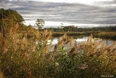 Fall is here.... (Joe Hengel) Tags: fallishere argoscornerde argoscorner delaware de sussexcounty phragmites sunrise morninglight morning watchingthesunrise water outdoor cedar creek