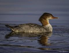 2I1A4204a (lfalterbauer) Tags: nature wildlife canon merganser avian ornithology cornell lightroom camera lake dslr digital photographer photography